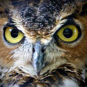 Who? Who? by Amanda  Castleman  - Animals Birds ( bird, nature, beak, owl, feathers, portrait, animal,  )