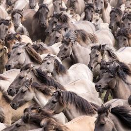 Wildpferde im Münsterland by Winfried Rusch - Animals Horses ( deutschland, wildpferde, wildpferdefang, pferd, merfelder bruch, reisen, tiere, säugetier )