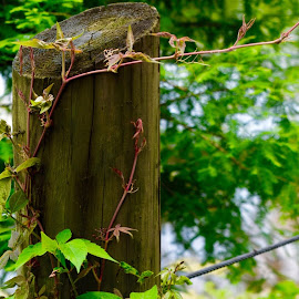 by Lorna Littrell - Artistic Objects Other Objects ( wood post, fence, wooden, vines,  )