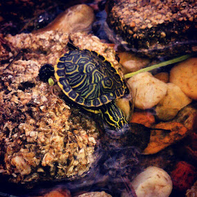 Franklin in his pond #turtle #baby #water #pond #rocks by Blake Coln - Instagram & Mobile Instagram ( baby, young, animal )