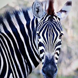 Zebra Close-up by Pieter J de Villiers - Animals Other
