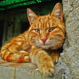 by Vukosava Radenovic - Animals - Cats Portraits