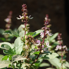 Indian Basil Plant  [Tulsi] by Sagar Pangole - Nature Up Close Leaves & Grasses ( tulsi, basil )