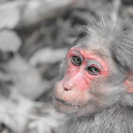 sankey monkey by Suj B - Animals Other