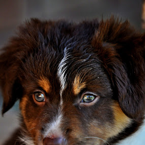 uno by Kristen O'Brian - Animals - Dogs Portraits ( australian sheperd, puppy, brown, red tri, dog )