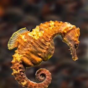 Sea Horse 8233  by Karen Celella - Animals Sea Creatures ( sea creature, underwater, sea horse, fish, aquarium, sea creatures, underwater life, ocean life )