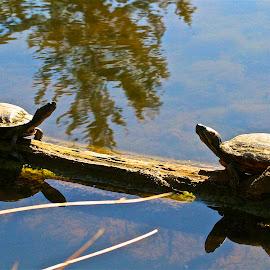 The Standoff  by Patti Bradfield - Animals Reptiles ( calm, water, lake, turtles, spring )