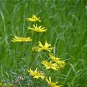 narrowleaf goldenbush