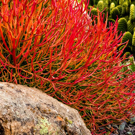 Firestick by Dave Lipchen - Nature Up Close Other plants ( firestick )