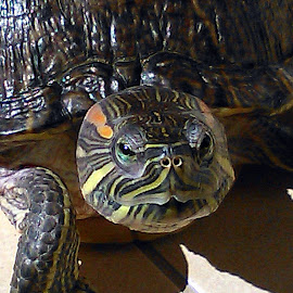 Mr. Grumpy by Daniela Fluerasu - Animals Reptiles ( water, red eared slider, turtles, testudines )