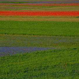 Castelluccio by Bruno Brunetti - Landscapes Prairies, Meadows & Fields ( nature, colors, flowers, italy, castelluccio,  )