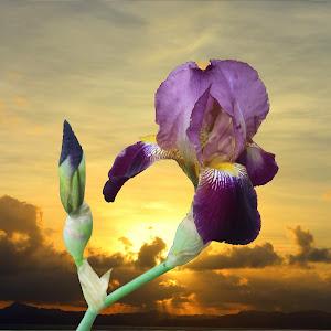 Iris sunset.jpg