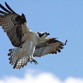 Osprey by Robert Strickland - Animals Birds (  )