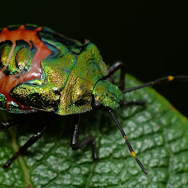 Bronze Shieldbug Nymph by Pat Somers - Animals Insects & Spiders