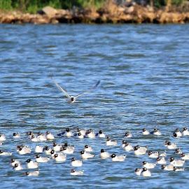 Franklin Gulls by Rita Flohr - Novices Only Wildlife ( water, migration, nature, franklin gull, lake, landscape, gulls )