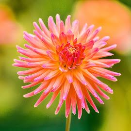 Purple & orange flower by Jim Downey - Flowers Single Flower ( orange, gold, green, dahlia, yellow )