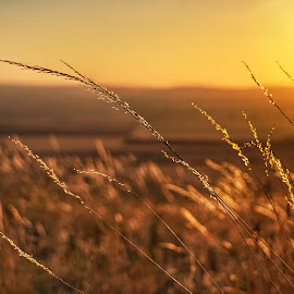 Amber waves  by Todd Reynolds - Nature Up Close Leaves & Grasses