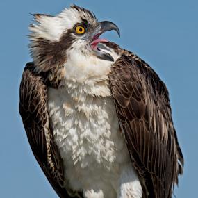 by Shelly Wetzel - Animals Birds ( osprey )