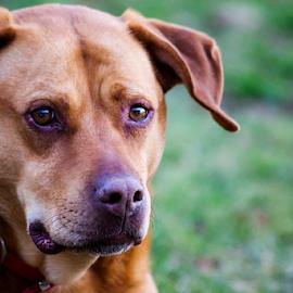 Neighbor  Sam by Susan Farris - Animals - Dogs Portraits ( canine, dog, animal )