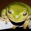 Australian Green Tree Frog (FEMALE)
