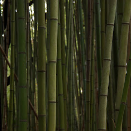 Panda's Backyard Garden by Susan Fries - Landscapes Forests ( plant, bamboo, panda, grass, forest )
