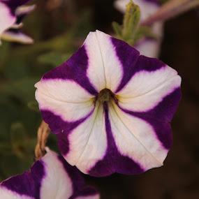 Menekşe by Recep Cenbek - Flowers Single Flower ( menekşe, mor, çiçek )