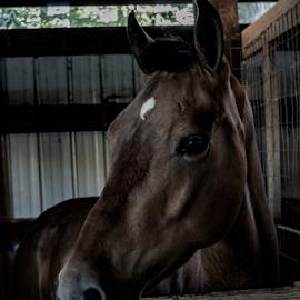 horse by Tim Hauser - Animals Horses ( animal photography, horse, tim hauser photography, fine art photography, animal )