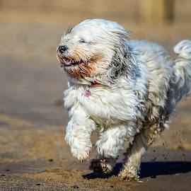 Dog running on beach by Michael  Conrad - Animals - Dogs Running ( sand, beach, dog, running, mammal, coast )
