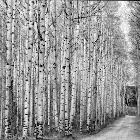 by Ron Harper - Landscapes Forests ( old adobie town, aspen alley )