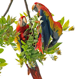 Scarlet Macaw by Steve Shelasky - Animals Birds ( nature, scarlet mccaw, colorful, costa rica, birds )