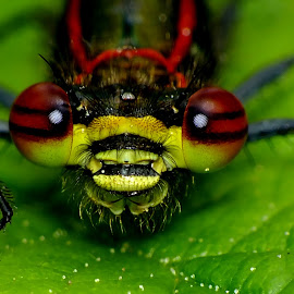 Damselfly eyes by Pat Somers - Animals Insects & Spiders