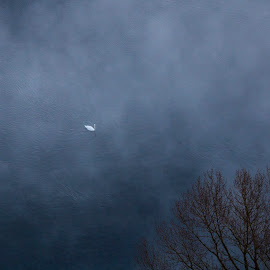 Swan in the lake by Pietro Ebner - Nature Up Close Other Natural Objects ( tree, swan, lake, river, mist )