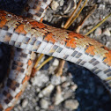 Corn Snake OR REd Rat Snake