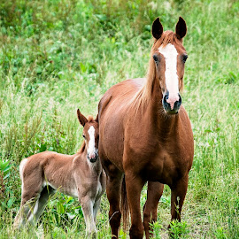 My Moma and me... by Sheila Onkst - Animals Horses (  )