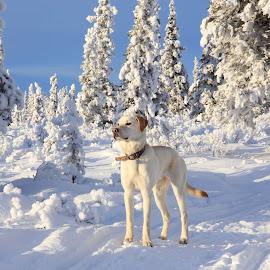 Leo profile by Sabra Neyman - Animals - Dogs Portraits ( alaskan photographer, retriever, winter, alaskan photography, snow, alaska, canon photography, canon photographer, lab, alask, yellow lab )