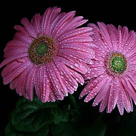 Pink Gerbera by Pieter J de Villiers - Flowers Single Flower