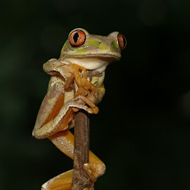 Natal Tree Frog by David Knox-Whitehead - Animals Amphibians ( red eyes, tree frogs, sticks, frogs, amphibians )