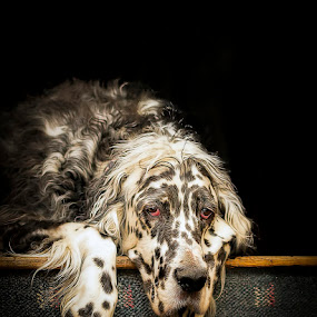 George by Andrew Lawlor - Animals - Dogs Portraits (  )