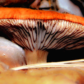 Grand Daddy Mushroom by Dave Walters - Nature Up Close Mushrooms & Fungi ( mushroom, canon rebel, macro, colors, nature up close,  )