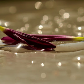 Romance of Petals  by Amol Polke - Nature Up Close Gardens & Produce ( indoor, petals, beautiful, nice, bokeh,  )