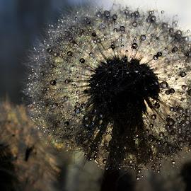Dandelion by Svetlana Micic - Nature Up Close Other plants ( dandelion, macro photography, sunset, drops, nature up close )