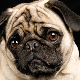 Pug by Noel Tillman - Animals - Dogs Portraits ( studio, face, dogs, pet, pugs, dog, friend, pug, portrait, photography, animal )