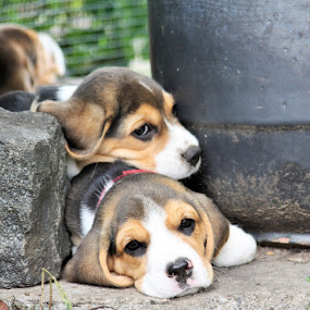 relaxing time by Carola Mellentin - Animals - Dogs Puppies ( puppies, dogs, no photoshop, beagles, relaxing,  )