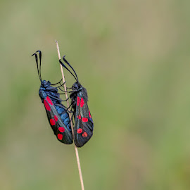 6-Spot Burnet Moth by Adele Price - Animals Insects & Spiders ( 6-spot burnet, nature, insects, moths )