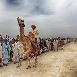 Camel Dance by Abdul Rehman - People Street & Candids ( camel, cholistan, desert, camel dance, culture, rural )
