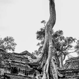 taprom tree on the temple by Piseth  TUY - Landscapes Travel