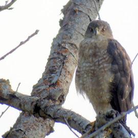 Perched by Cynthia Dodd - Novices Only Wildlife ( animals, bird of prey, nature, outdoor, wildlife, birds, hawk )