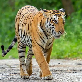 by S Balaji - Animals Lions, Tigers & Big Cats