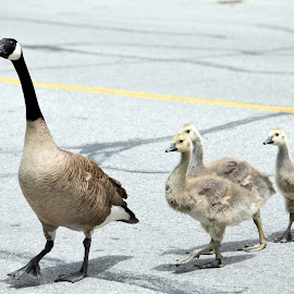 Proud Mom by Deborah Lucia - Animals Amphibians ( goose_family, baby_geese, geese )