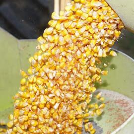 Falling Corn Kernels by Sharon Hansen - Nature Up Close Gardens & Produce